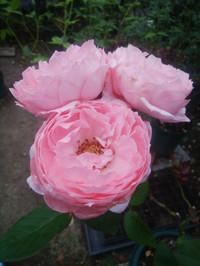 Rose180731